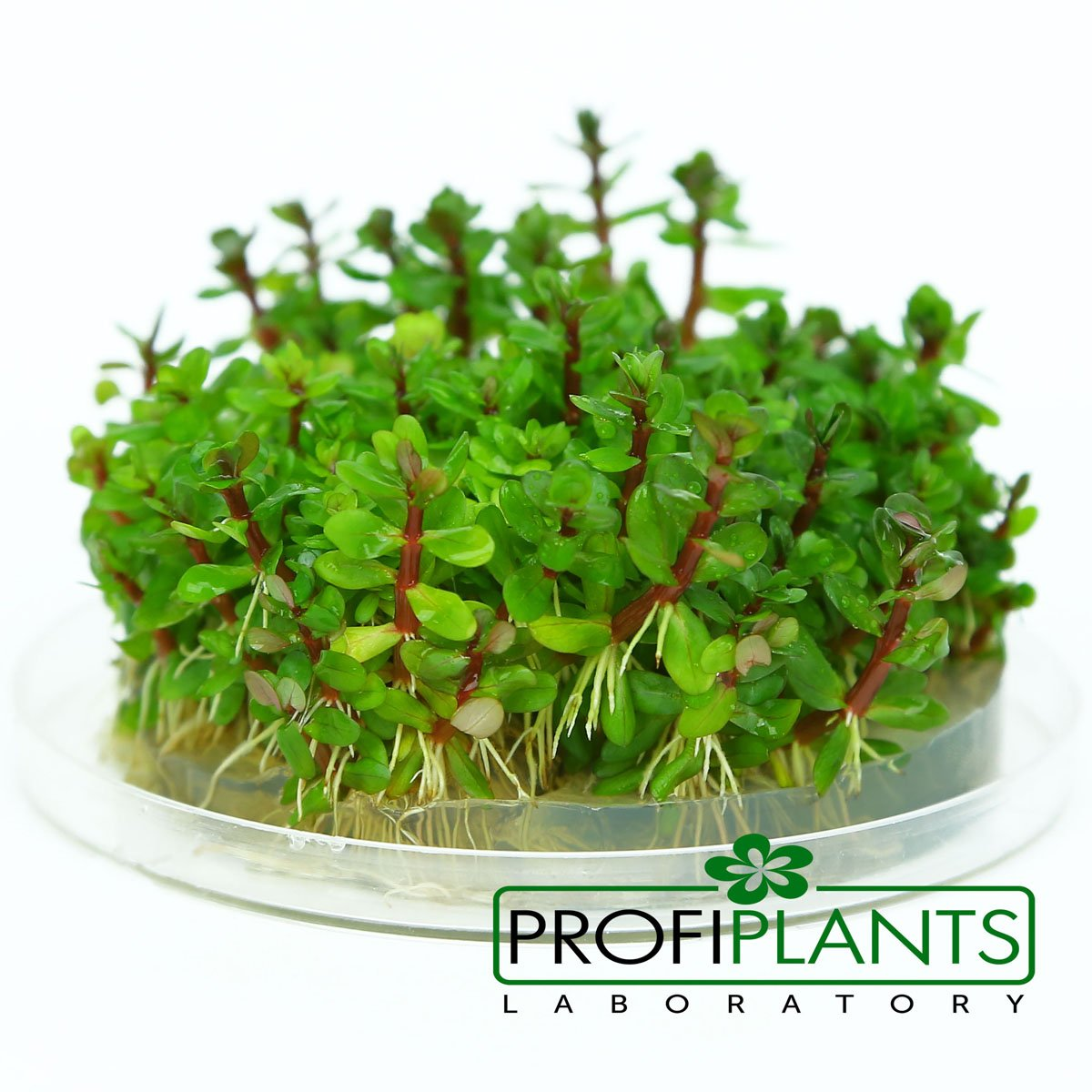 Co je to mikropropagace rostlin?