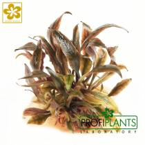 Cryptocoryne 'Flamingo'  - in vitro