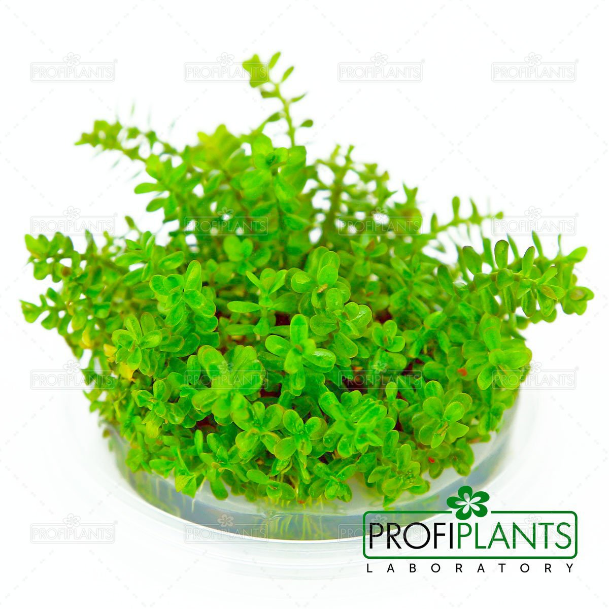 Rotala rotundifolia - in vitro