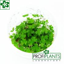 Hydrocotyle tripartita - in vitro