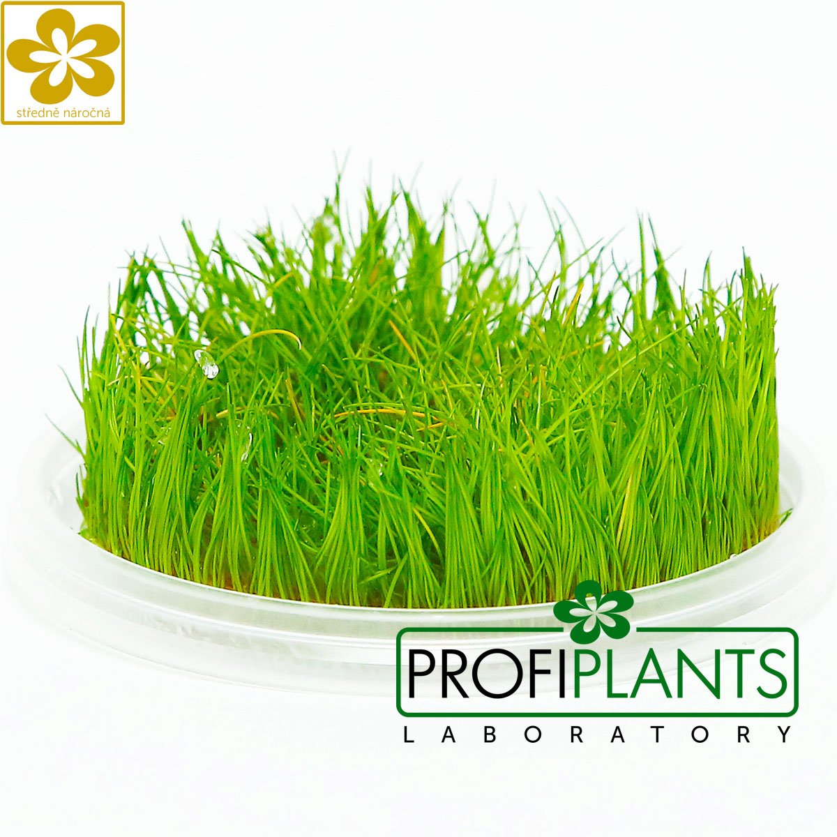 Eleocharis sp. 'Mini' - in vitro